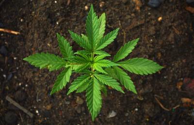 marijuana-cina-commercio illegale-medicina cinese-aref international onlus-medicina