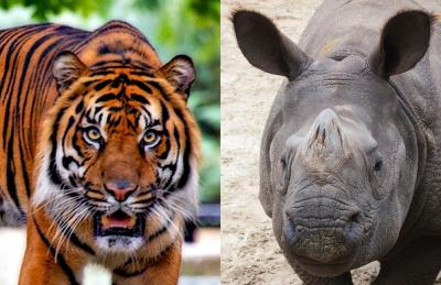 medicina tradizionale-tigre-rinoceronte-commercio illegale-cina-medicina-aref international onlus