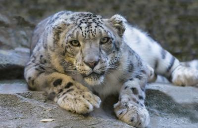 leopardo delle nevi video-immagini leopardo delle nevi-leopardo delle nevi-specie in via d'estinzione-tibet-cina-aref international onlus-medicina tradizionaleca-caccia illegale