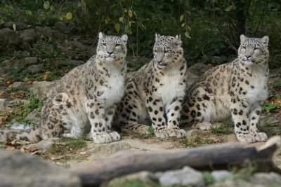 aref international onlus-leopardo delle nevi video-immagini leopardo delle nevi-leopardo delle nevi-specie in via d'estinzione-tibet-cina-medicina tradizionaleca-caccia illegale