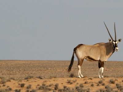 antilope-pastore tibetano-Tibet-Cina-ecosistema ambientale-aref international onlus